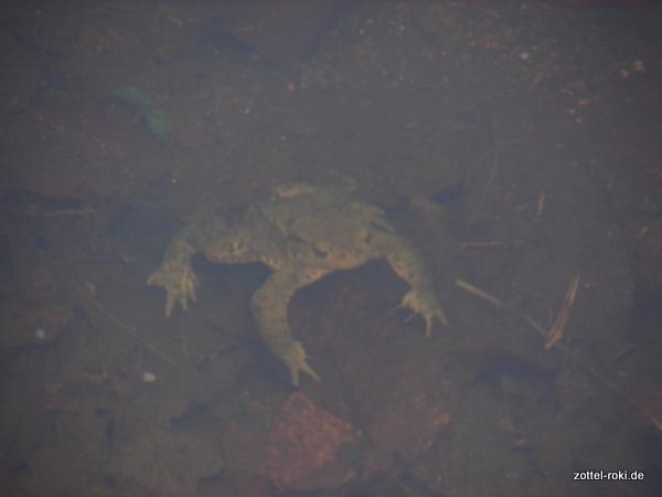 Rotbauchkröte (unter Wasser)