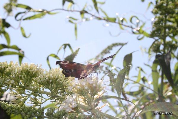 Ahnungsloser Schmetterling