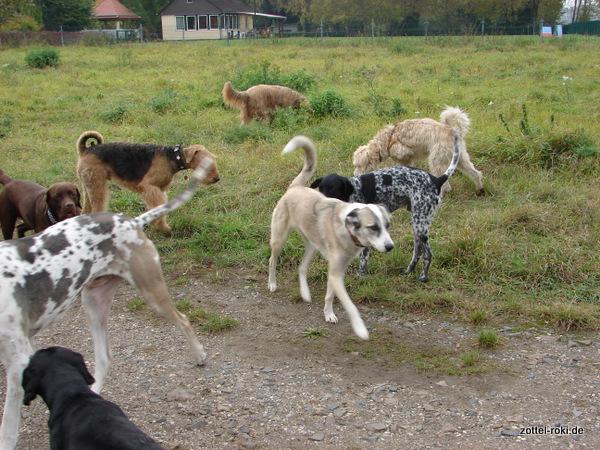 viele Hunde